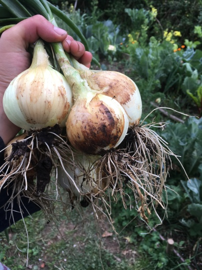 Freshly harvested onions