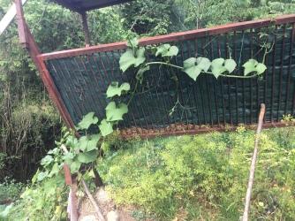 Chayote vine